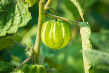 Fresh Cape Gooseberry (Physali...