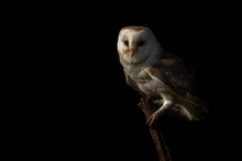 Beautiful Barn Owl (Tyto Alba)...