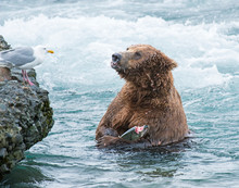Brown Bear Fishing For Salmon ...