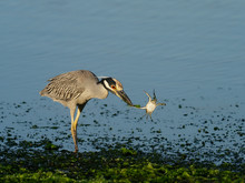 Yellow-crowned Night-heron, Ny...
