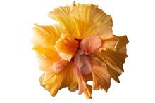 Hibiscus Orange On A White Bac...