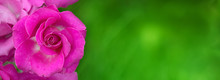 Wide Angle Background For Design With Flower Rose