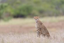 Cheetah In The Wilderness Of Africa, Cheetah Cub, Cheetah Mom