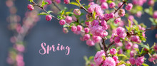 Blooming Sakura Tree In Spring...
