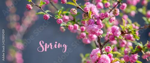 Fotografie, Obraz Blooming sakura tree in spring park