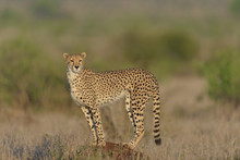 Cheetah In The Wilderness Of A...