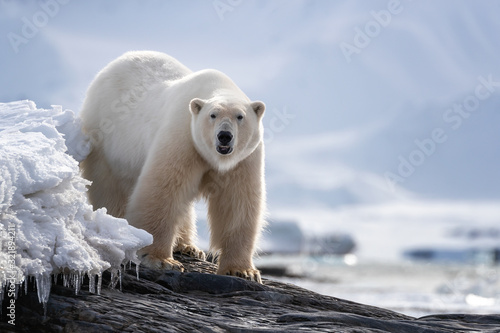 Adult male polar bear standing on a rocky ledge in Svalbard Canvas Print