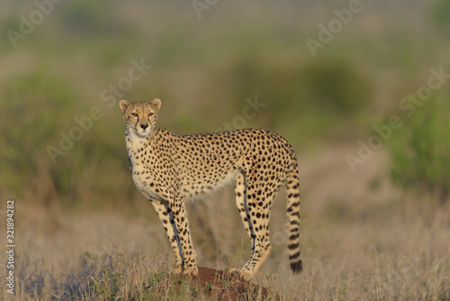 Leinwand Poster Cheetah in the wilderness of Africa, cheetah cub, cheetah mom