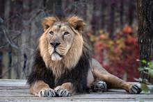Asiatic Lion (Panthera Leo Per...