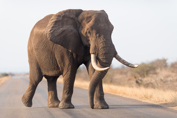 Elephant in the wilderness, African Elephant in the wilderness
