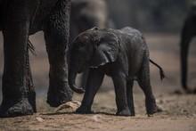 Muddy Baby Elephant Walking To...