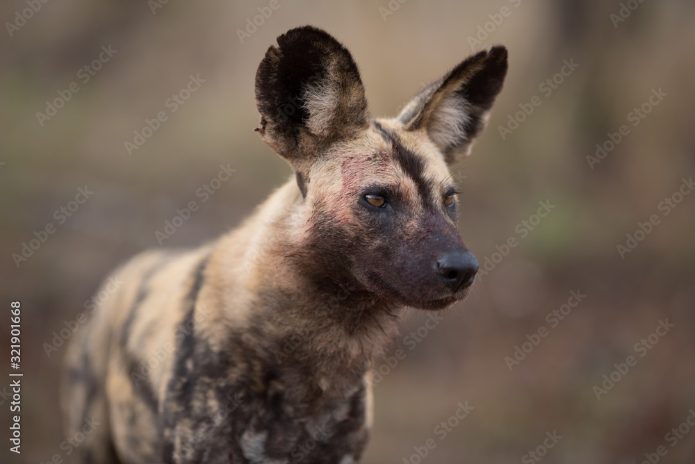 Fototapeta Closeup shot of an african wild dog with a blurred background