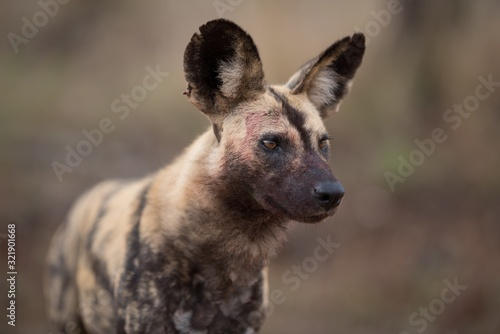 Closeup shot of an african wild dog with a blurred background Canvas Print