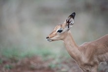 Closeup Shot Of A Young Antelope With A Blurred Background