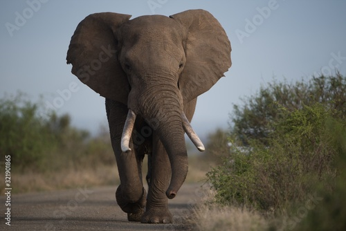 Fototapety, obrazy: Beautiful shot of an african elephant walking on the road with a blurred background