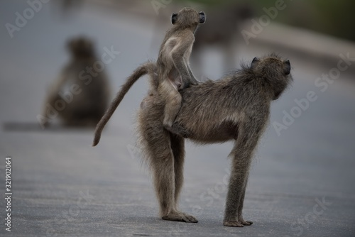 Selective focus shot of a mother baboon with her baby riding on her back Canvas Print