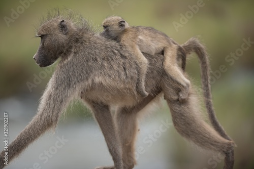 Photo Beautiful shot of a mother baboon with her baby riding on her back