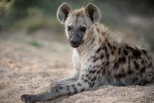 Closeup Shot Of A Spotted Hyena Resting On The Ground With A Blurred Background