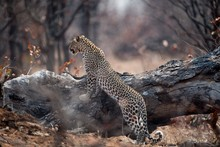 African Leopard Hunting For A ...