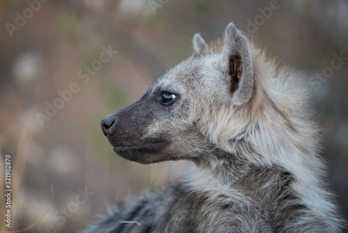 Stampa su Tela Closeup shot of a spotted hyena with a blurred background
