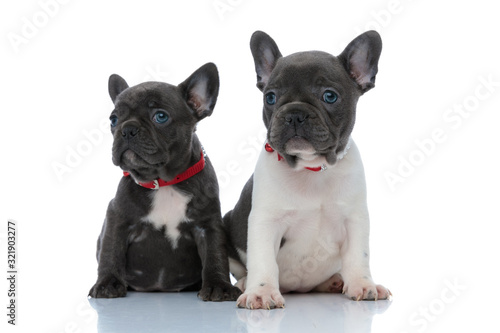 Fényképezés Two dutiful French bulldog cubs curiously looking forward