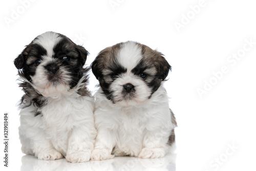 Two dutiful Shih Tzu cubs looking forward Tapéta, Fotótapéta