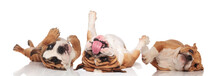 Three English Bulldogs Panting And Rolling On Their Back
