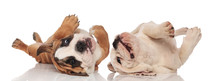 Two English Bulldogs Puppies Rolling On Their Back