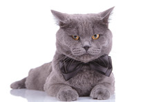 Bothered British Shorthair Cat Wearing Bowtie And Frowning