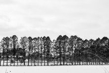 Bare Trees Lined Up In Winter