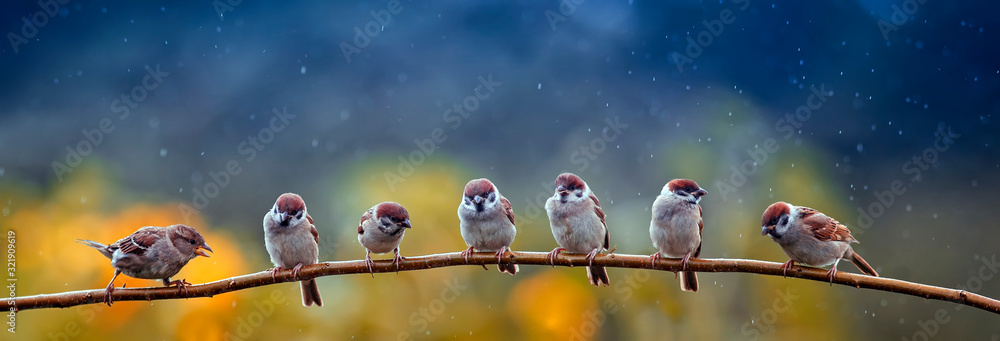 Fototapeta natural panoramic photo with little funny birds and Chicks sitting on a branch in summer garden in the rain