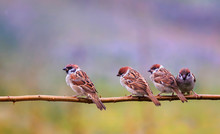 Photo With Lots Of Funny Birds Sparrows Sitting On A Branch In The Summer Garden And Chirp