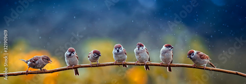 Obraz natural panoramic photo with little funny birds and Chicks sitting on a branch in summer garden in the rain - fototapety do salonu