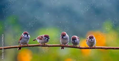 natural background with small funny birds sparrows sitting on a branch in a summer garden under a tree rain