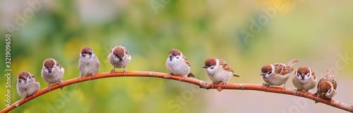 Fotografija panoramic photo with a flock of funny birds and Chicks sparrows sit on a branch