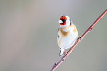 European Goldfinch, Carduelis Carduelis, Sitting On A Thin Twig