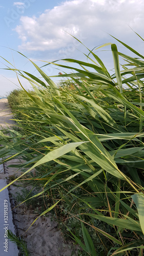 Obraz na plátně Landscape of seaside hills with fresh green reed branches and blue sky background with white clouds