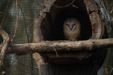 Little Owl Resting In A Wooden...