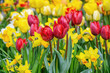 canvas print picture - Narcissus and Tulips Flowerbed
