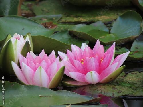 Fototapeta Water lilies in pond