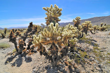 Teddy Bear Cholla -  Cactus Sp...