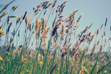 Lovely Tall Summer Grasses Blowing In The Breeze On A Hot Sunny Day