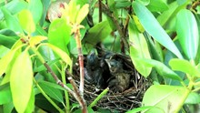 Three Cardinal Chicks In Their Nest With Volume