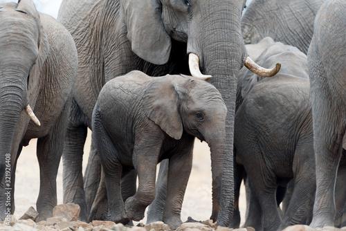 Elephant herd, elephant family in the wilderness Wallpaper Mural