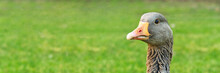 Portret Of Wild Grey Goose On Green Grass Background, Close Up With Copy Space