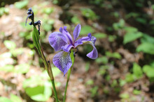 Closeup Of A Blue Flag Iris At Acadia National Park In Maine