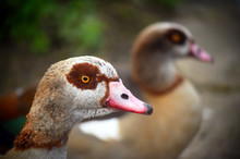 Two Egyptian Geese In Kelsey P...