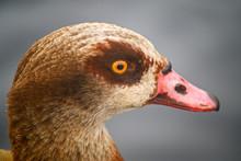 Egyptian Goose In Kelsey Park,...