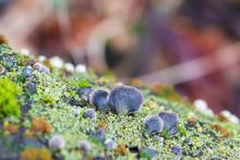 Resupinatus Alboniger Mushroom Growing On A Moss-covered Log