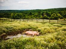 Pig Lying In Mud On A Farm